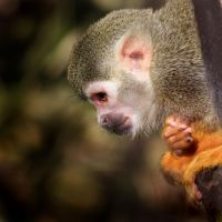 Common Squirrel Monkey 02 by s-kmp