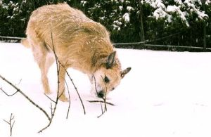 Wolf tracking - Deer snacking by UrsulaPatch