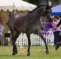 STOCK - TotR Arabians 2013-547 by fillyrox