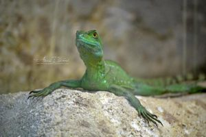 Green basilisk (female) by Ana-photographie