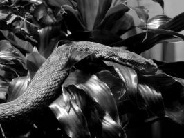 Slithering in Black and White by tracy-Me