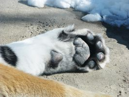 Paw Stock 1: Amur Tiger by HOTNStock