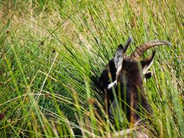 Goat in the grass by Ajumska