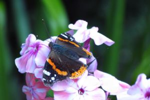 Red Admiral.. by AlfiBOh