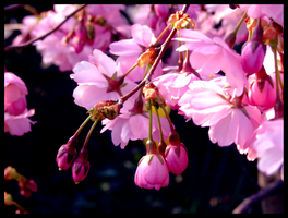 Cherry Blossom by hellagood88
