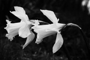 Daffs in Black and White by EarthHart