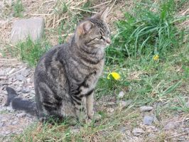 Brown striped Cat sitting Stock by AngelSTOCK22