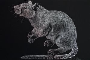 Mini Rat Scratchboard by wolfysilver