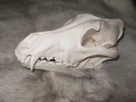 Wolf Skulls  Reference 3 by lamelobo