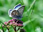 Common Blue by suphafly