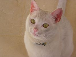 Dirty white cat by Toulouse-and-Co