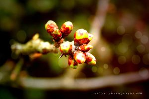 Cherry Buds by Cixipod