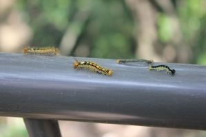 Caterpillars on Parade by rayna23