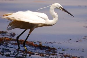 Egret by Snazz84
