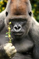 Western Lowland Gorilla 3 by Art-Photo