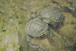 Turtles by dancingdeadd