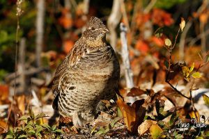 Ruffed Grouse at Fall by Robin-Hugh