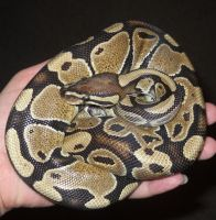 Norm ball python in my hand by CrazyViper
