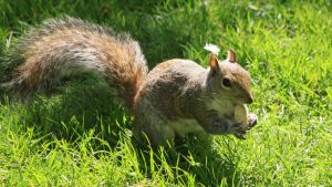 Squirrel by UdoChristmann