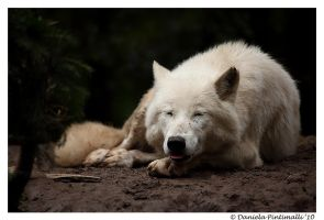 Happy Arctic Wolf by TVD-Photography