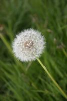Dandelion 2 by photohouse