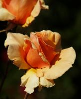 orange roses by mohaganbev