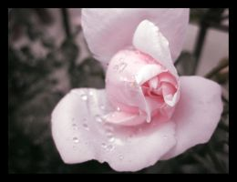 Pink Rose IV by fartoolate