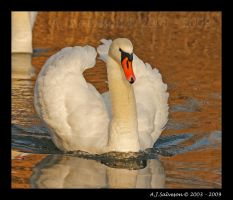 Swan Portrait IV by andy-j-s