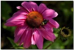 Blossom and the Bumble Bee by LoneWolfPhotography