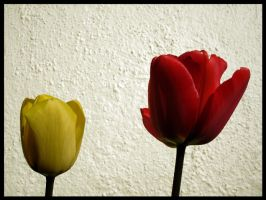 Tulips by Refract