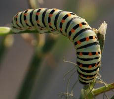 Papilio machaon larva by Shooter--Andy