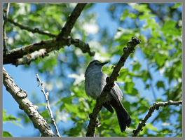 Catbird in the trees by Mogrianne