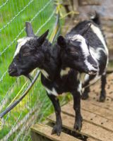 Two headed goat by Mackingster