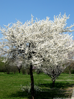 White Spring Trees by morrighan03