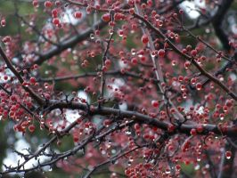 Red Berry Tree by MadGardens