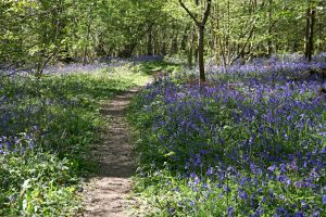 Bluebell Woods 3 GothicBohemianStock by OghamMoon