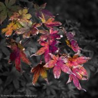 Some Red Leaves (rev. 1) by DrAndrei