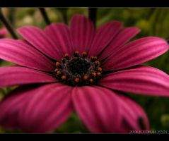Spring Flower 2 by kedralynn