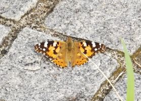 Painted Lady by sudro