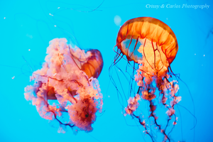Jellyfish at Academy of Sciences by candypow