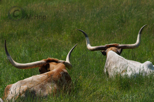 Long Horns 2 by Cappuccino8