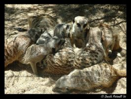 Meerkats: Huddle up by TVD-Photography