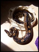 Ballpython male by T-i-g-g