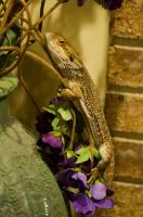 Bearded Dragon Stock 7 by FairieGoodMother