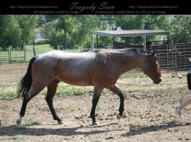 quarter horse stock 14 by tragedyseen