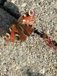 Peacock Butterfly on the Sunny Ground by beekay84