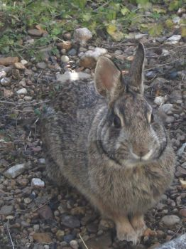 Neighborhood Cottontail 1 by Magick205