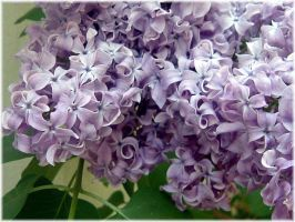 Lilacs - Spring 2007 by LindaLee