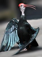 Grounded Ibis by fosspathei