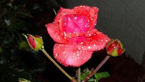 .Glazed Rose 2. by BabyLinux